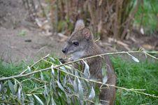 Free Little Kangaroo Stock Image - 32829331