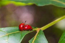 Free Red Lady Beetles Royalty Free Stock Images - 32829559