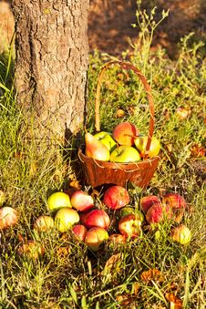 Free Basket With Apples Royalty Free Stock Images - 32829789