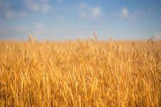 Free Autumn Wheat Field Royalty Free Stock Photo - 32835815