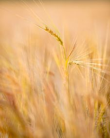 Free Autumn Wheat Field Royalty Free Stock Images - 32835829