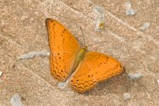 Free Common Yeoman &x28;Cirrochroa Tyche&x29; Butterfly On Cement Background Royalty Free Stock Photos - 32836828