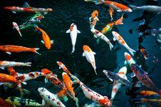 Free Koi Fish Royalty Free Stock Images - 32858709