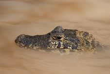 Free Yacare Caiman Royalty Free Stock Photo - 32862265