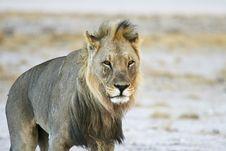 Free Male Desert Lion Stock Photo - 32862470