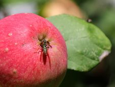 Free Wasp Sits On A Ripe Apple Royalty Free Stock Images - 32865519
