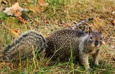 Free Inquisitive Spotted Squirrel Stock Photo - 32869400