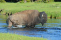 Free A Bison Crosses A Clear Stream. Stock Photos - 32874563