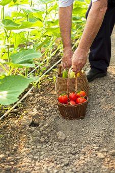 Free Picking Fresh Tomatoes Royalty Free Stock Photo - 32873555