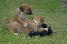 Free Two Pups Play With Each Other. Royalty Free Stock Photos - 32874088