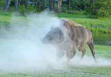 Free A Bison Shakes His Head As The Dust Rolls. Royalty Free Stock Photography - 32874467