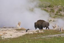 Free A Bison Near A Spewing Geyser. Stock Photography - 32874792