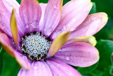Free Raindrops On Daisy Royalty Free Stock Photo - 32875625