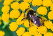 Free Bee On The Tansy Stock Images - 32875944