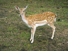 Piebald Deer Royalty Free Stock Images