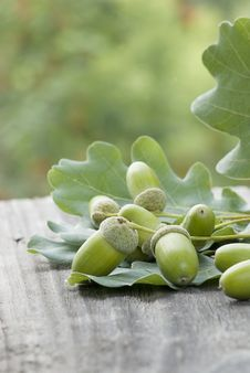 Free Oak Leaves And Unripe Acorns Royalty Free Stock Photography - 32877967