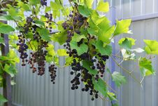Free Grapes In The Yard Royalty Free Stock Photo - 32878765