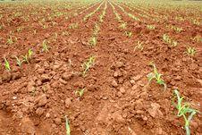 Free Corn Seedlings Stock Photography - 32878792