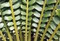 Free Closeup Of Beautiful Leaves Of Zululand Cycad Stock Photography - 32888092