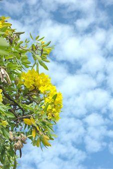 Free Frangipani Trees Stock Photo - 32880400