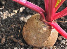 Free Beet In Soil Stock Image - 32880871