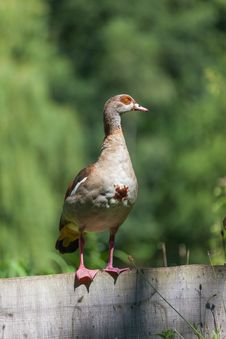 Egyptian Goose Royalty Free Stock Photography