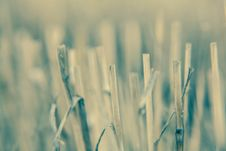 Free Close-up Branch Of Wheat Color Processing Stock Photo - 32884270