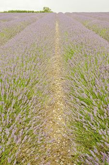 Free Fields Of Lavendar Royalty Free Stock Photography - 32887317
