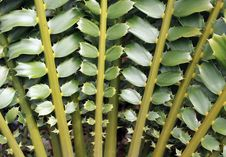 Free Closeup Of Beautiful Leaves Of Zululand Cycad Stock Photography - 32888092