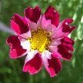 Free Pink Pocket Flower Stock Image - 3290311