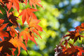 Free Red Maple Leaves Royalty Free Stock Photo - 3298135