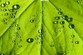 Free Water Drops On The Leafs Royalty Free Stock Photo - 3298245