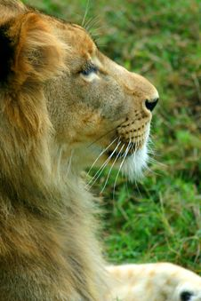 Free Lion Profile Stock Images - 3290074