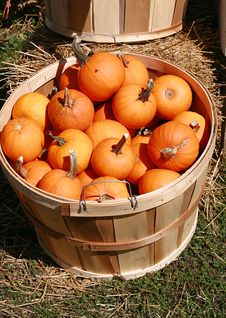 Free Fall Crop Of Pumpkins Stock Image - 3290151