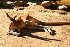 Free Kangaroo In A Cast Royalty Free Stock Image - 3290206