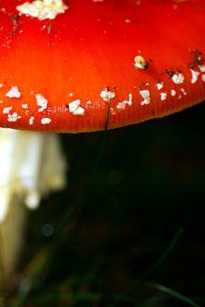 Mushroom Close-up Royalty Free Stock Photo