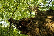 Free Old Tree Stock Photo - 3290880