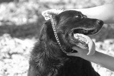 Puting Dog Collar BW Stock Photography