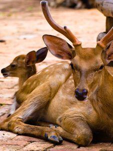 Free Deer Stock Images - 3291264