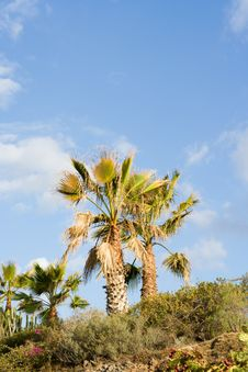 Free Palm Trees Royalty Free Stock Image - 3291436