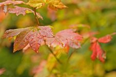 Wet Autumn Leaves Royalty Free Stock Photo