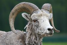 Free Big Horned Sheep Stock Photo - 3292700