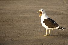Free Angry Seagull Royalty Free Stock Image - 3293436