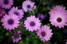 Free Close Up Of Some Pink Daisies Stock Image - 3293571