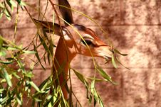 Free Gerenuk Eating Stock Photography - 3294392