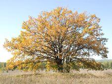 Free Oak In The Autumn Stock Photo - 3294690