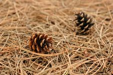 Free Pine Cones Royalty Free Stock Image - 3295096