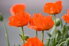 Free Some Common Poppies Stock Photo - 3296120