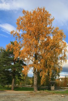 Free Birch At Fall Stock Photography - 3296262