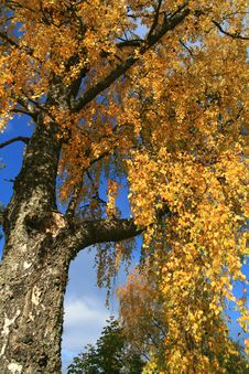 Birch At Fall Royalty Free Stock Photos
